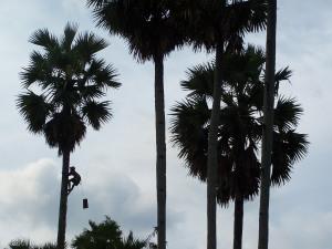 Memanjat Pohon Siwalan
