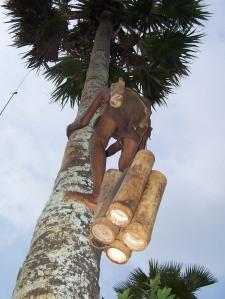 Memanjat Pohon Siwalan2